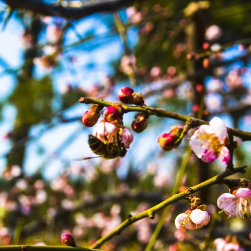 皇城相府:昙花一现能倾城 樱花开处美尽在
