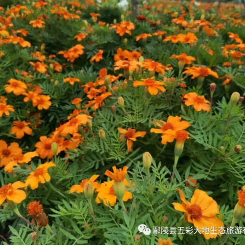 鄢陵县五彩大地的花海,清新脱俗、婀娜多姿