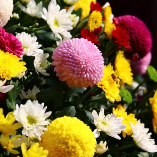 中国开封第37届菊花文化节延期至11月25日啦