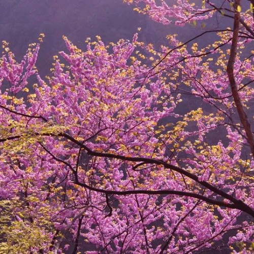 一起相约到西峡老君洞赏紫荆花去