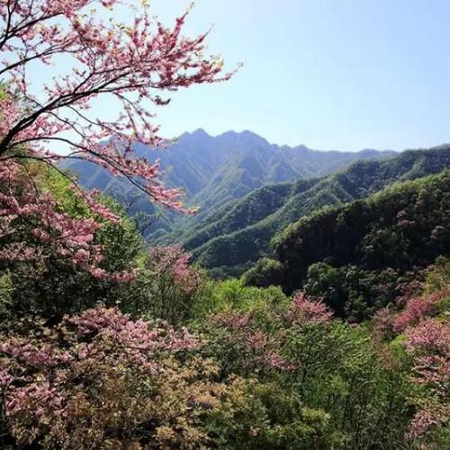 西峡老君洞18万亩紫荆花即将开满枝头